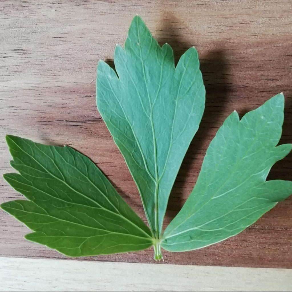lovage leaf