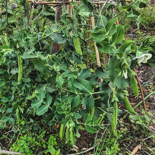 Peas growing in the garden