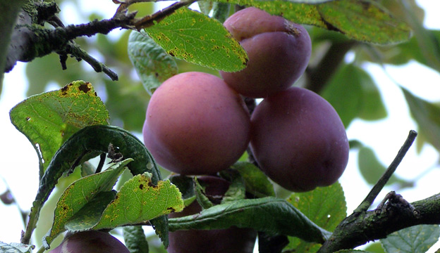 Plums growing on the tree