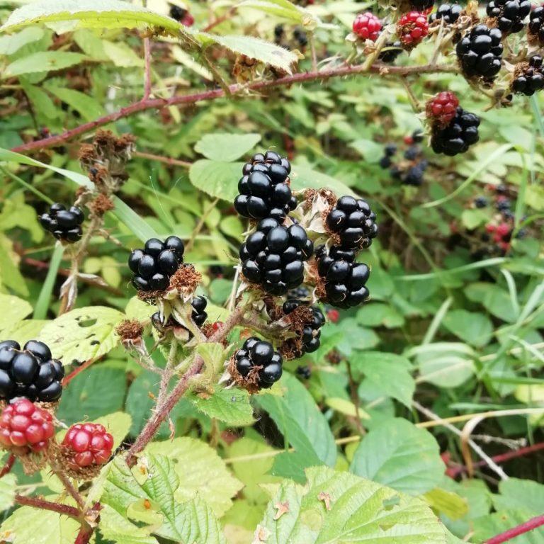 Blackberry busg