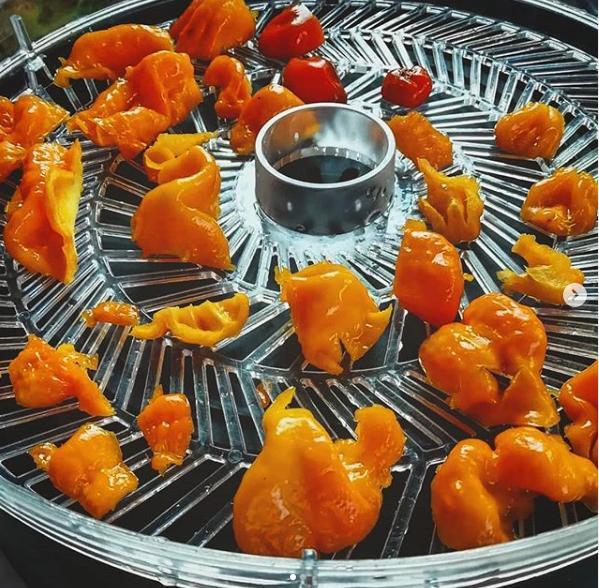 Drying habanero chilles